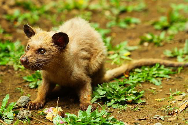 The most expensive coffee in the world comes from civet (a cat-sized mammal) poop.