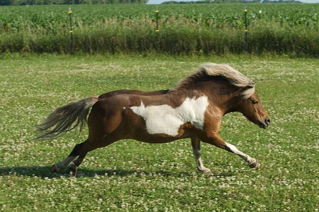 A very small size of Horses about the size of a duck once roamed North America!