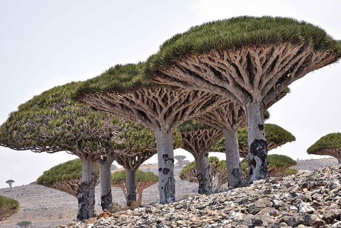 Dragon's Blood Tree, Socotra Island/wikimedia