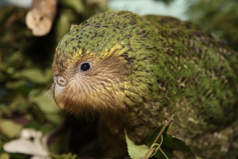 Meet Kakapo, the Largest Parrot in the World